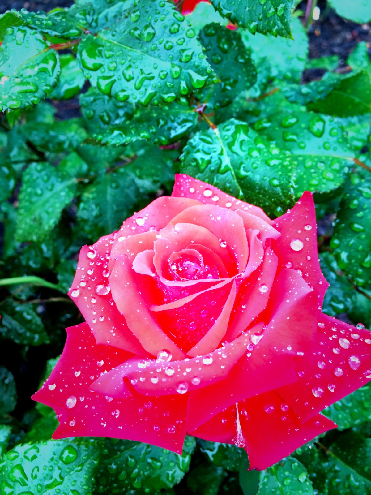 How can one not fall in love oh my rose #Iphoneography #photography#rain